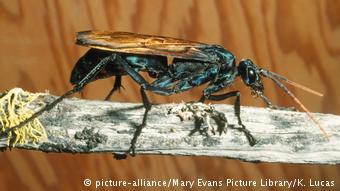 Esta vespa se chama Pepsis formosa ou Pepsis grossa e se alimenta de tarântulas